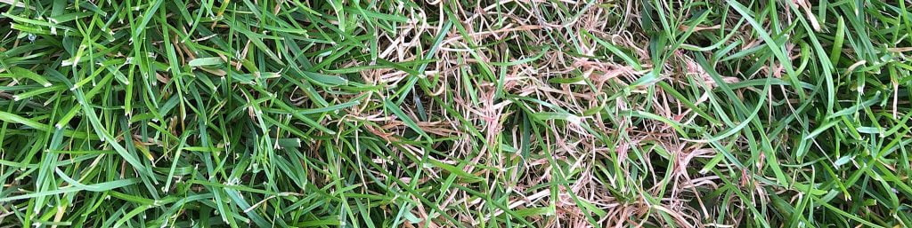 Lawn Disease Management Treatment - Red Thread